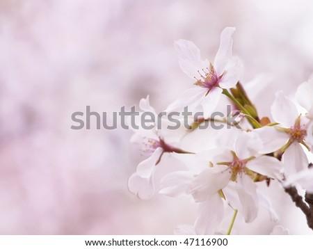 Cherry blossom flowers (someiyoshino species ) in full bloom. - stock photo