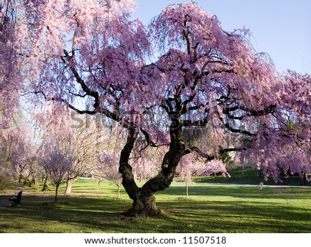 Cherry Blossom Forest - stock photo
