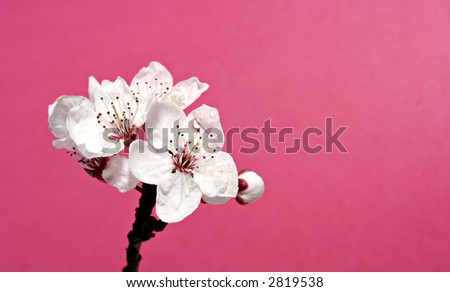Cherry Blossom - Great water drop detail, pink background - stock photo