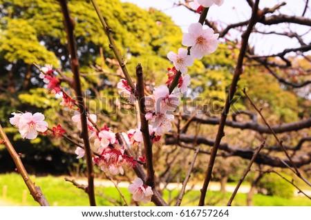 https://thumb7.shutterstock.com/display_pic_with_logo/167494286/616757264/stock-photo-cherry-blossom-hamarikyu-garden-616757264.jpg