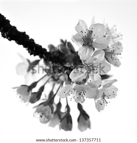 Cherry Blossom In Black White