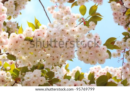 Cherry blossom in blue sky and sun. Nature - stock photo