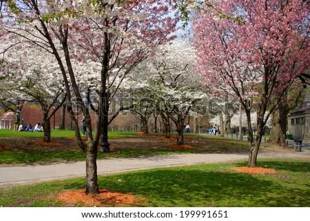 Cherry Blossom in Boston Public Garden during spring  - stock photo