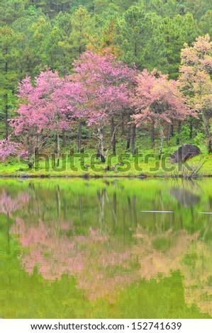 Cherry Blossom in ChiangMai, Thailand  - stock photo