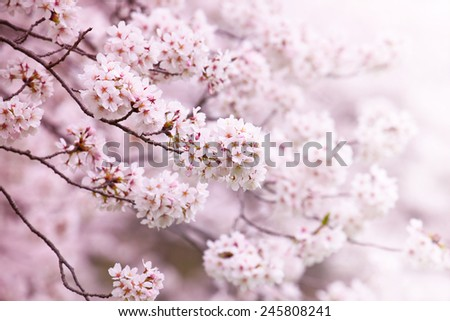 Cherry blossom in full bloom. cherry flowers in small clusters on a branch.