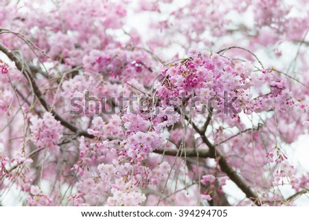 Cherry blossom in full bloom. cherry flowers with flower buds, on a branch. - stock photo