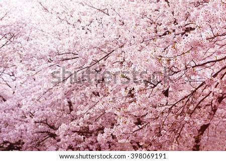 Cherry blossom in full bloom. Magnificent branches of blooming spring cherry flowers. Shallow depth of field. - stock photo