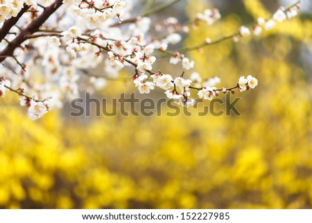 Cherry Blossom in Gyeongbokgung Palace, Korea - stock photo