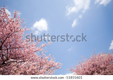 Cherry blossom in japan on spring