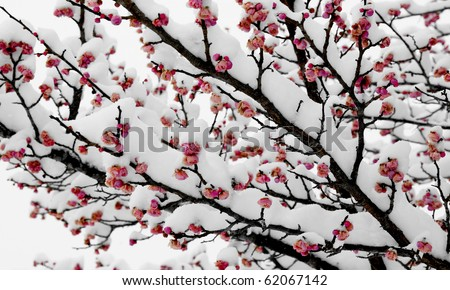 Cherry blossom in snow - stock photo