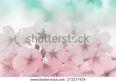 Cherry blossom in spring  - stock photo