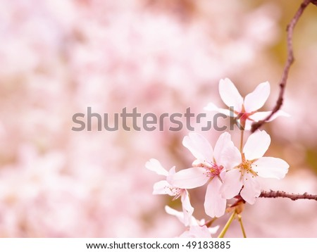 Cherry blossom in spring. - stock photo