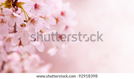 Cherry blossom in spring with beautiful pastel pink background. - stock photo