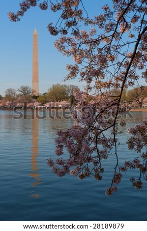 Cherry Blossom in Washington DC, Washington Monument in the background - stock photo