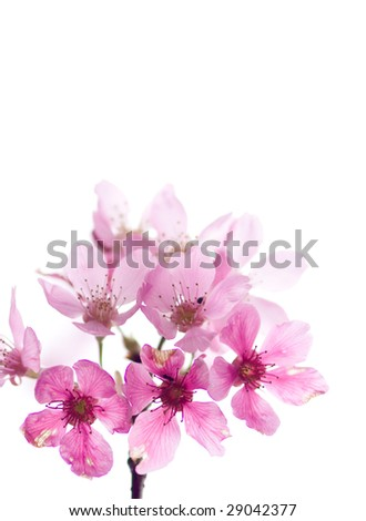 Cherry blossom isolate with white color