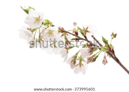 Cherry blossom isolated on white background - stock photo