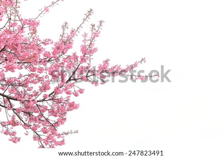 cherry blossom isolated white background - stock photo