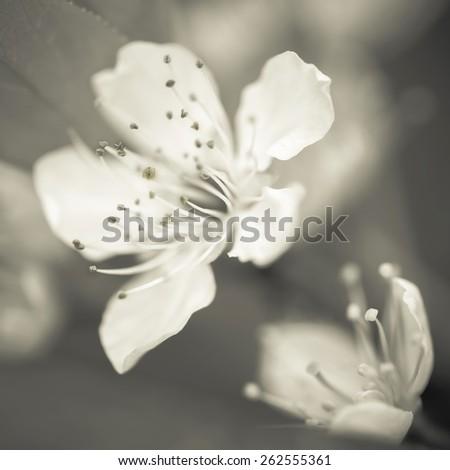 Cherry blossom, macro close-up shot scenes. - stock photo