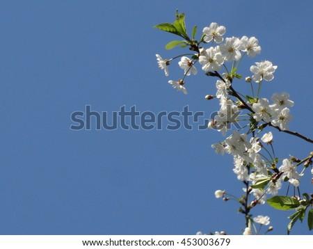 Cherry blossom - macro. Wondering russian garden. - stock photo