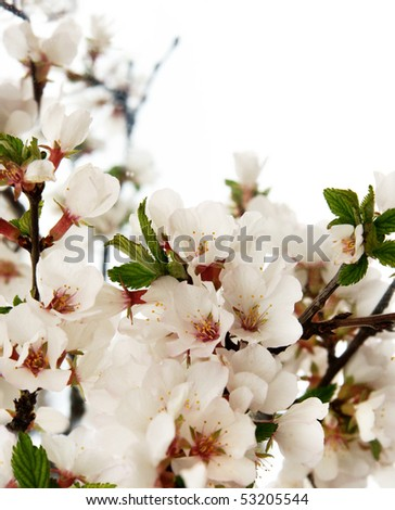cherry blossom natural frame, space for text on white - stock photo