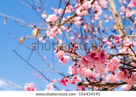 Cherry blossom. Nature background.
