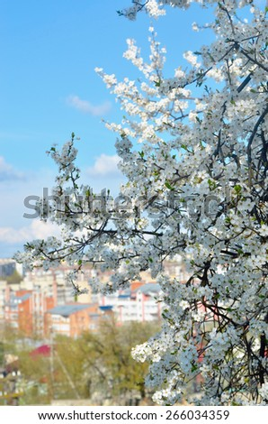 cherry blossom on a background of the city - stock photo