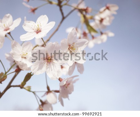 Cherry blossom on a light blue sky background - stock photo