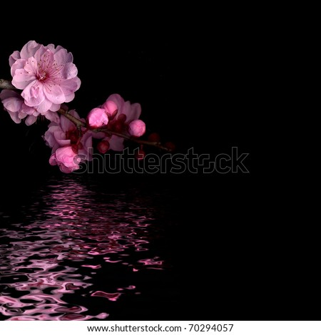 cherry blossom on black with reflection - stock photo