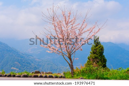 Cherry Blossom on the hill - stock photo