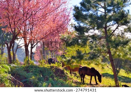 Cherry blossom or sakura flowers and horse  at doi angkhang mountain, Chiangmai : Thailand - stock photo
