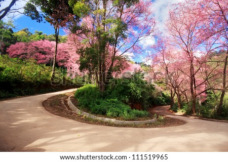 Cherry Blossom Path in a curve road - stock photo