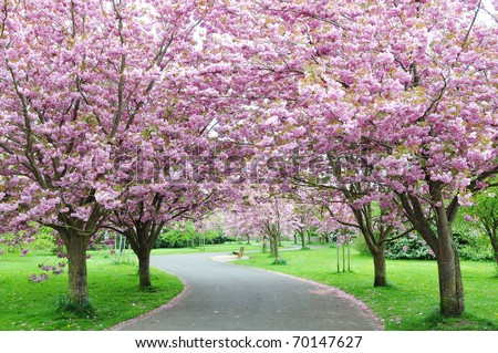 Cherry Blossom Pathway in a Beautiful Landscape Garden - stock photo