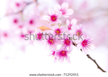 Cherry blossom , pink sakura flower - stock photo
