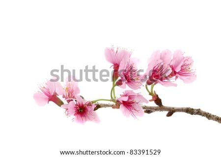 Cherry blossom , pink sakura flower isolated in white background - stock photo