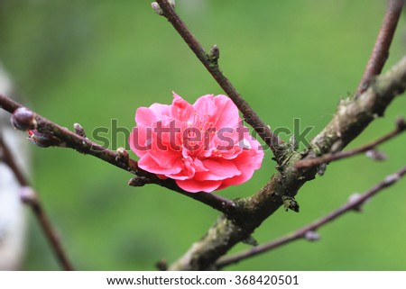 Cherry blossom,red cherry blossom flower and buds blooming on the branch with green background in spring   - stock photo
