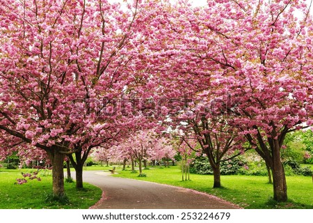 Cherry Blossom Road - stock photo