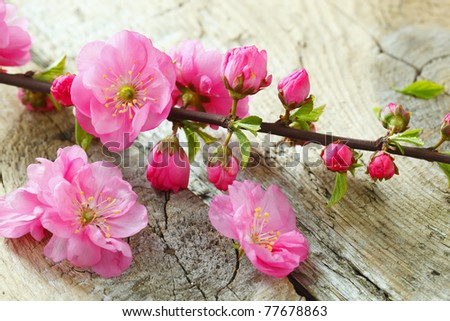 Cherry blossom ,sakura flower - stock photo