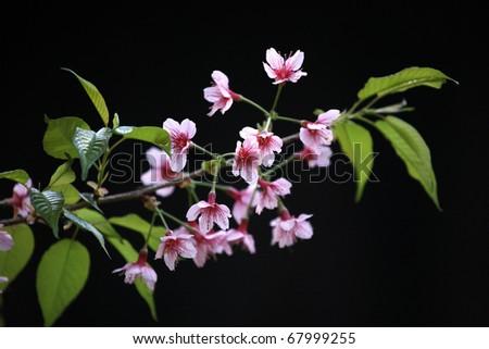 Cherry Blossom Sakura flower isolated in black background - stock photo