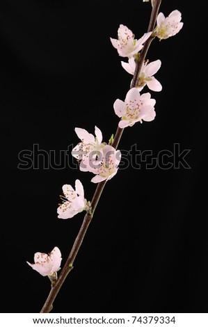 cherry blossom sakura on black - stock photo
