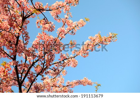 Cherry blossom (Scientific name: Cerasus yedoensis), Background full of pink cherry flowers.