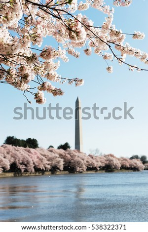cherry blossom season of Washington DC