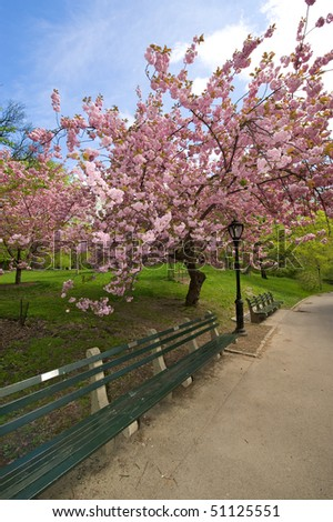 Cherry blossom tree in full bloom in Central Park in New York. - stock photo