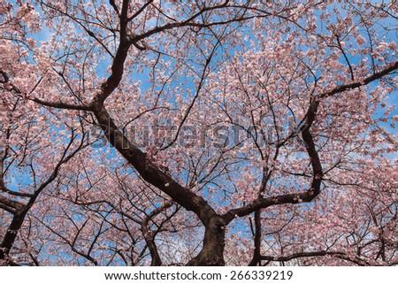 Cherry Blossom Tree, Sakura Tree in garden. - stock photo