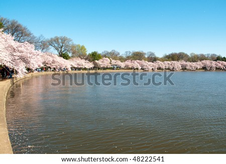 Cherry Blossom trees around the Tidal Basin during the National Cherry Blossom Festival - stock photo