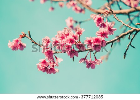 cherry blossom vintage and soft light for natural background
