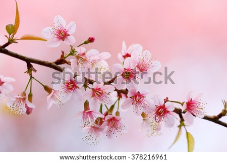 Cherry blossom (Wild himalayan cherry/Prunus cerasoides) on pink background