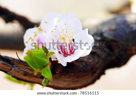 Cherry blossom with beautiful natural background. - stock photo