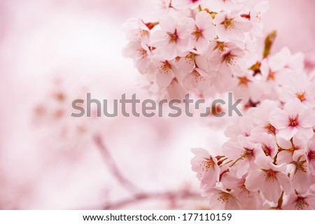 Cherry blossom with beautiful pink background. - stock photo