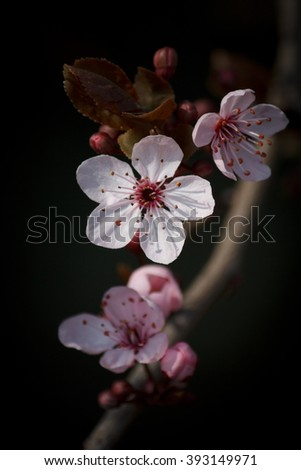 Cherry Blossom with Soft Bokeh - Dark Background - stock photo