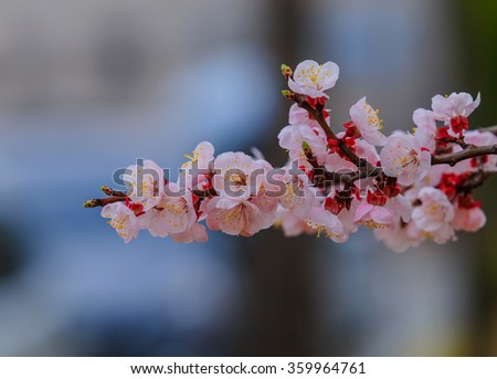 Cherry blossom with soft focus. - stock photo